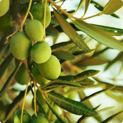 Olive Leaf Extract For Pain Management